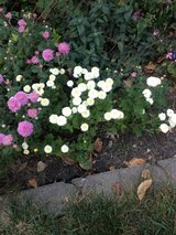 17th Annual Plant Sale - Mums in Orland Park, Illinois