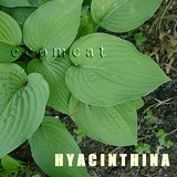 Large variety HOSTA HYACINTHINA, gray-green leaves in Glendale Heights, Illinois