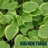 GOLDEN TIARA HOSTA potted plants in St. Charles, Illinois