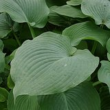 Giant Variety HOSTA BLUE ANGEL, lg blue leaves in Naperville, Illinois