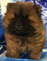 Chow Chow Puppy in Los Angeles, California