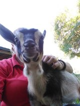 Female Nigerian dwarf/pygmy goat in Leesville, Louisiana
