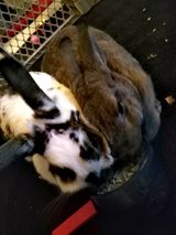 2 female rabbits in Fort Leonard Wood, Missouri