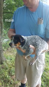 Blue Heelers puppies in Fort Campbell, Kentucky