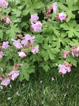 Cranesbill Geraniums - SPECIAL SALE JULY 3, 4 ,5 6 ONLY in Bartlett, Illinois