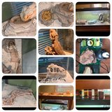 Bearded Dragon and enclosures $175 obo in Bolingbrook, Illinois