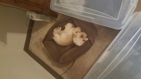 Toy Poodle in Fort Rucker, Alabama