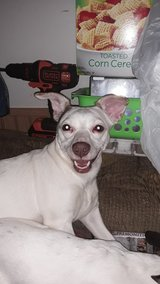 Chihuahua Jack Russell terrier mix in Chicago, Illinois