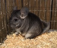 11 Week Old Standard Grey Male Chinchilla Kit (Baby) -- super cute! in Chicago, Illinois