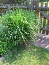 Miscanthus Grass, sm clump in St. Charles, Illinois