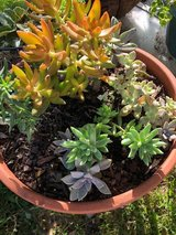 2 Beautiful potted succulents plants in Kingwood, Texas