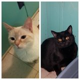 2 cats up for rehoming in Fort Leonard Wood, Missouri