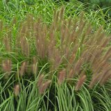 """Pennisetum """"Red Head"""" Fountain Grass in St. Charles, Illinois"""