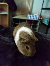 Female Guinea Pig in DeKalb, Illinois