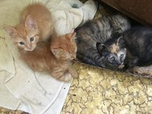 Cute friendly kittens in St. Charles, Illinois