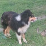 Female Sheltie/ Aussie mix (price dropped) in Fort Leonard Wood, Missouri