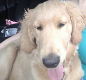 Rehoming golden doodle in Fort Lewis, Washington