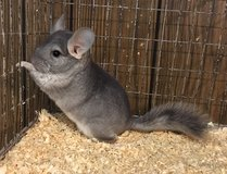 5 Month Old Sapphire Male Chinchilla -- energetic! in Chicago, Illinois