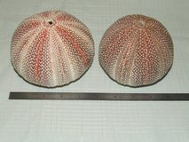 "Giant Red Sea Urchin Shell Beautiful Nautical Decor 4 ¾"" & 4 1/8"" in Chicago, Illinois"