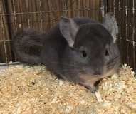 4 Month Old Violet Male Chinchilla Kit (Baby) -- super sweet! in Chicago, Illinois