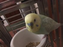 Reward! Please help me find my Parakeet in Chicago, Illinois