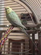 Please help me find my Parakeet in Chicago, Illinois