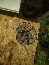 Ball Python in Fort Knox, Kentucky
