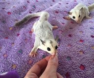 Hedgehogs and sugar gliders for adp in Tacoma, Washington