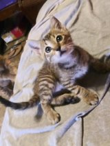 Found a Tabby baby needs home in The Woodlands, Texas