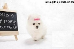 the Excellent Male And Female Pomeranian pups in Conroe, Texas