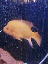 Red Devil fish! He's  beautiful! Awesome deal. in 29 Palms, California