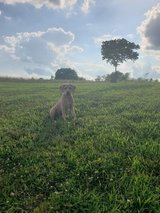 English mastiff/Pit mix in Fort Leonard Wood, Missouri