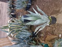 AGAVE FOR SALE in Yucca Valley, California
