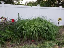 "Pennisetum ""Red Head"" Fountain Grass in Glendale Heights, Illinois"