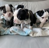 Quality Kc Registered Boston Terriers in Stuttgart, GE