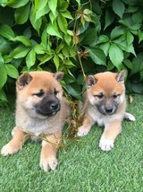 Stunning perfect home raise perfect extremely cute Shiba Inu in Stuttgart, GE