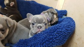 Adorable french bulldog puppies in Stuttgart, GE