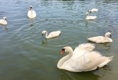mute swan cygnets in Fort Campbell, Kentucky