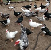 Ducks - Muscovy in Fort Gordon, Georgia