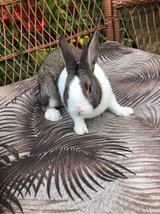 Male (buck) Dutch rabbit in Westmont, Illinois