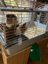 cage with 2 male guinea pigs in Spring, Texas