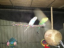 Parakeets for Sale in Bolingbrook, Illinois