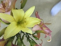 Day Lily - NOT Stella Dora in Westmont, Illinois
