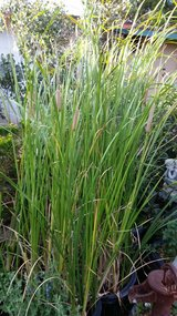Cattail Pond Plants in Yucca Valley, California