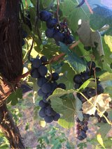 grapes in Ramstein, Germany