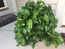Beautiful Healthy Plant with stand in Bartlett, Illinois