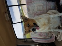 Heeler mix female in Alamogordo, New Mexico