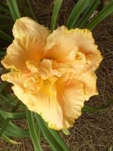 "Daylily, ""Southport"" in Byron, Georgia"