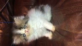 Extreme flat face Persian kittens and more!!! in Conroe, Texas