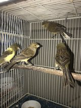 Canary Babies in Naperville, Illinois